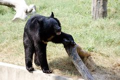 Himalayan Bear Stock Photo
