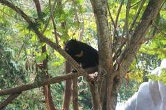 Himalayan bear Royalty Free Stock Image