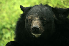 Himalayan Bear, India Royalty Free Stock Photos