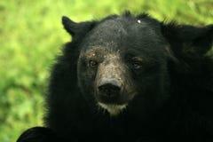Himalayan Bear, India Royalty Free Stock Photos