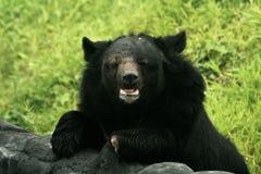 Himalayan Bear in an Indian Zoo Royalty Free Stock Photos