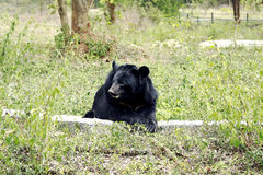 Himalayan bear. In an Indian Zoo sitting on a stone Stock Photography
