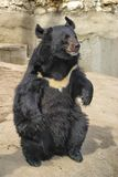 Himalayan bear Lat. Ursus thibetanus. On the chest there is always a white spot in the shape of the letter V stock photos