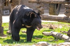 Himalayan bear at the zoo. Himalayan bear at the sunny day Royalty Free Stock Photography