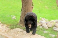 Himalayan bear & x28;black& x29; Stock Image