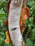 Himalayan birch, bhojpatra in Valley of Flowers. Himalayan Birch or Bhojpatra is found at a level of 14500 ft or above in Himalayas. Its bark was used as paper Stock Photo