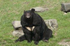 himalayan björn Royaltyfri Bild