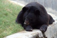 himalayan björn royaltyfria bilder