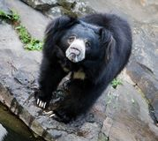 Himalayan black bear Royalty Free Stock Photo