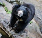 Himalayan black bear royalty free stock photo
