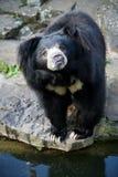Himalayan black bear Stock Image