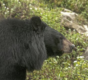 Himalayan Black bear Royalty Free Stock Photography