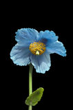 Himalayan Blue Poppy. Beautiful flowering himalayan blue poppy on black background in vertical format Stock Image