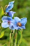 Himalayan blue poppy Royalty Free Stock Images