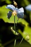 Himalayan Blue Poppy Royalty Free Stock Image