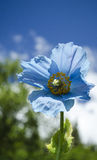 Himalayan Blue Poppy. The rare and beautiful Himalyan Blue Poppy in bloom against an Alaskan summer sky Stock Photography