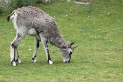 Himalayan blue sheep Stock Photography