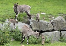 Himalayan blue sheep Stock Photos