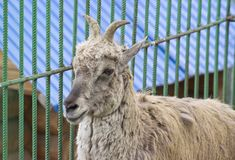 Himalayan blue sheep Pseudois nayaur, also known as Nahur stock photography