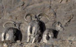 Himalayan Blue Sheeps stock photography