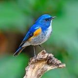 Himalayan Bluetail Royalty Free Stock Photo