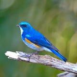 Himalayan Bluetail Stock Photos