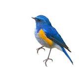 Himalayan Bluetail bird Stock Photography