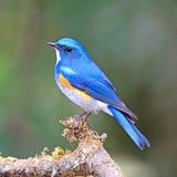 Himalayan Bluetail Royalty Free Stock Photos