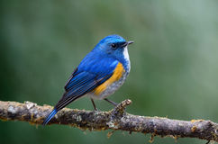 Himalayan Bluetail (male) on branch Royalty Free Stock Photos