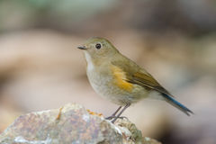 The Himalayan bluetail. Or Himalayan red-flanked bush-robin (Tarsiger rufilatus) is a small passerine bird that was formerly classed as a member of the thrush Royalty Free Stock Images