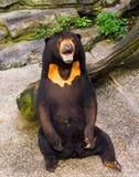Himalayan brown bear Stock Image
