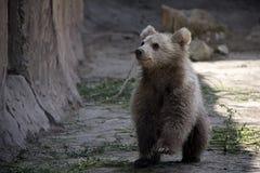 Himalayan brown bear cub. stock photography