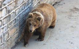 Himalayan brown bear or Red bear Stock Photography