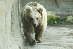 Himalayan brown bear Stock Image