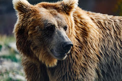 Himalayan brown bear Ursus arctos isabellinus. Also known as the Himalayan red bear, Isabelline bear or Dzu-Teh. Sometimes confused or mistaken with Yeti royalty free stock images