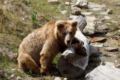 Himalayan brown bear Ursus arctos isabellinus royalty free stock images