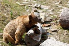 Himalayan brown bear Ursus arctos isabellinus stock photo