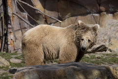 Himalayan brown bear, Ursus arctos isabellinus, has a very bright color Stock Photo