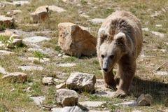Himalayan brown bear Ursus arctos isabellinus royalty free stock photos