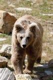Himalayan brown bear Ursus arctos isabellinus stock image