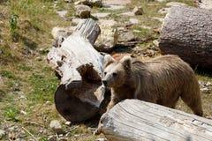 Himalayan brown bear Ursus arctos isabellinus royalty free stock photography