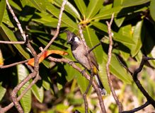 Himalayan Bulbul - Song Bird. The Himalayan bulbul Pycnonotus leucogenys, or white-cheeked bulbul, is a species of songbird in the bulbul family found in central Royalty Free Stock Photography