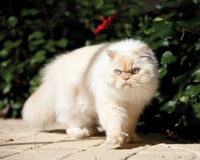 Himalayan cat Royalty Free Stock Images