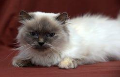 Free Himalayan Cat Royalty Free Stock Photo - 48508645