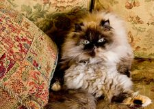 Himalayan cat Royalty Free Stock Photo