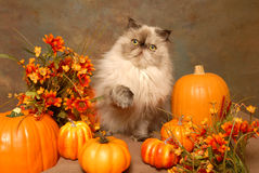 A HImalayan cat with Autumn Flowers and Pumkins Royalty Free Stock Photography
