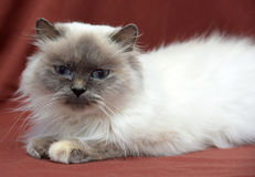 Himalayan cat Stock Photos
