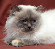 Himalayan cat Royalty Free Stock Image