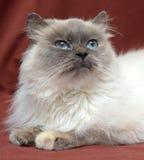 Himalayan cat Royalty Free Stock Photography