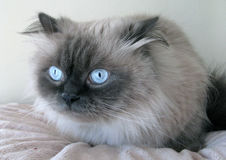 Himalayan cat. The Himalayan, is a breed or sub-breed of long-haired cat identical in type to the Persian, with the exception of its blue eyes and its point Royalty Free Stock Photography